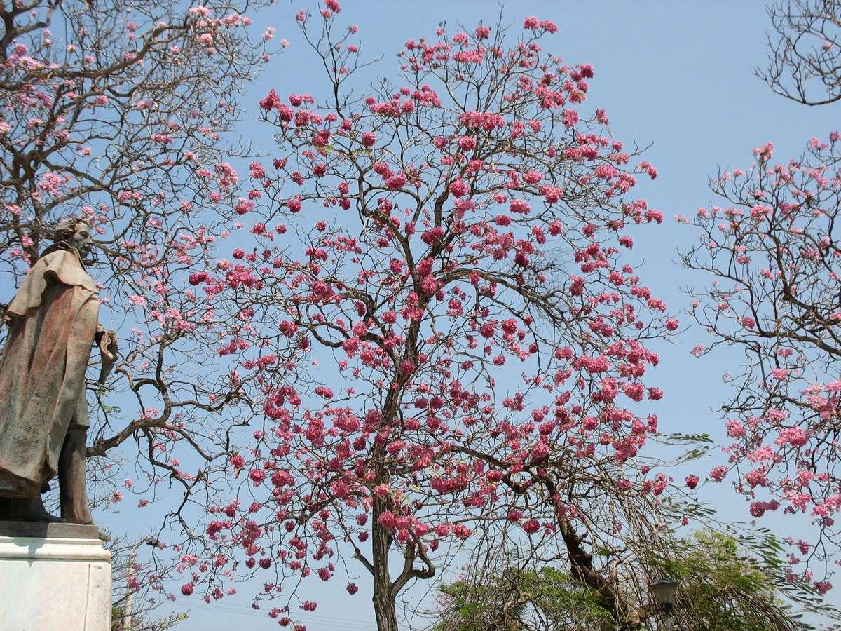 モモイロノウゼン(Pink trumpet tree)