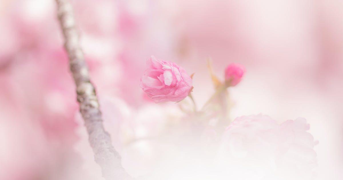 ピンク色の咲き始めの桜