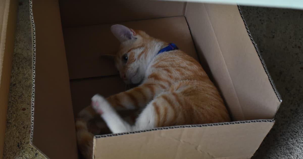 段ボールベッドで寝る猫