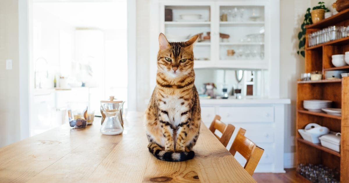礼儀正しくテーブルに座ってるネコ