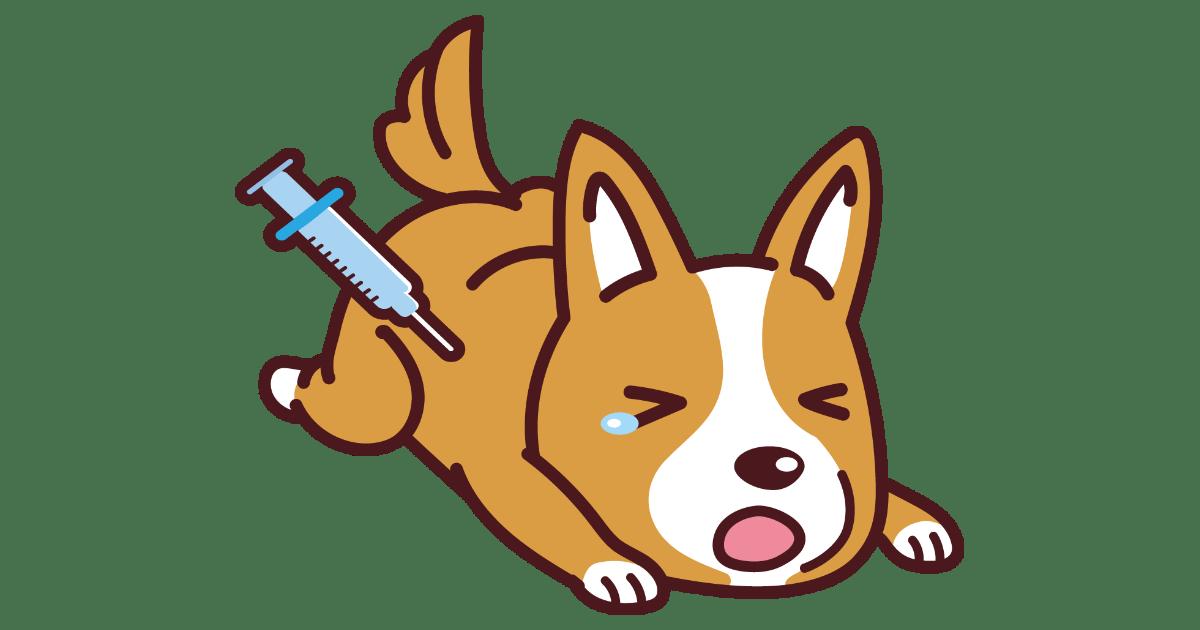 狂犬病予防接種をするコーギー