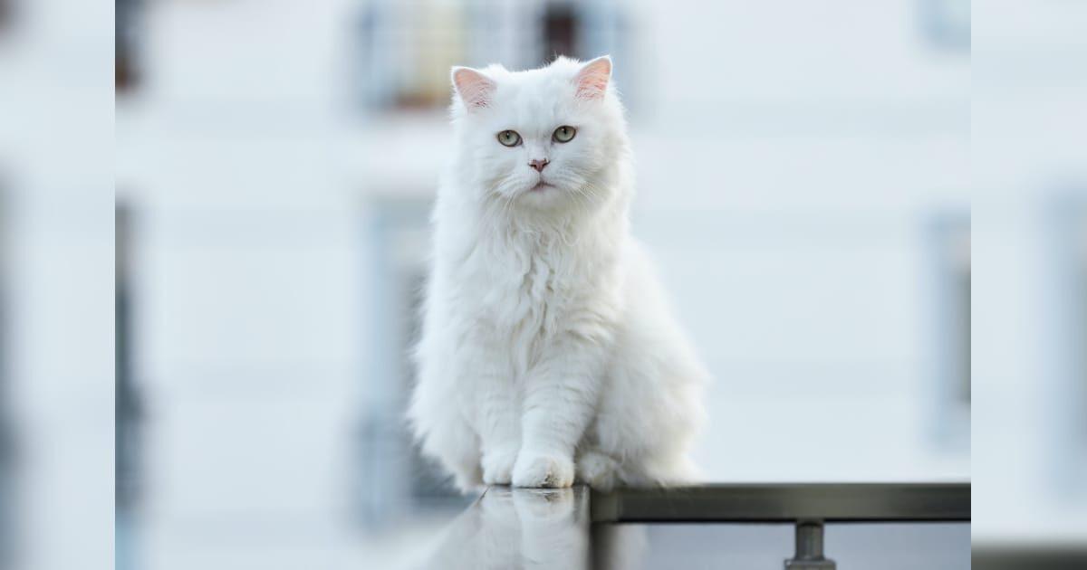 変な顔の白猫、ネコ